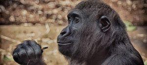gorilla djur