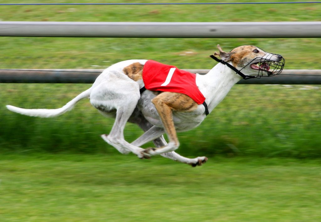 Gone to the Dogs: calls for ban on greyhound racing in Scotland